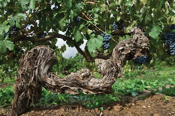 Старые лозы – хорошо или плохо для вина?#Aliantavin